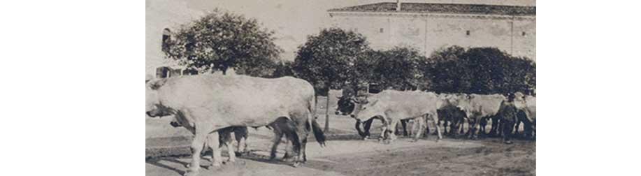 I buoi attraversano Cervignano nel periodo della Grande Guerra